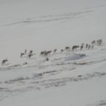 Kungsleden: Nos uniques rennes