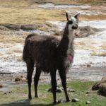 Lama prêt pour carnaval