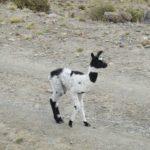 Lama à poils courts