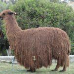 Lama à poils longs