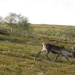 Lovely (stupid) reindeers