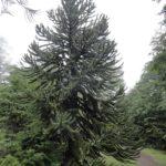 Araucaria, arbre type de la région