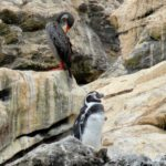 Pingouin!!!!!!!!!!!!! (ok ok , manchot!)