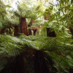 Amboro: Forêt de fougères